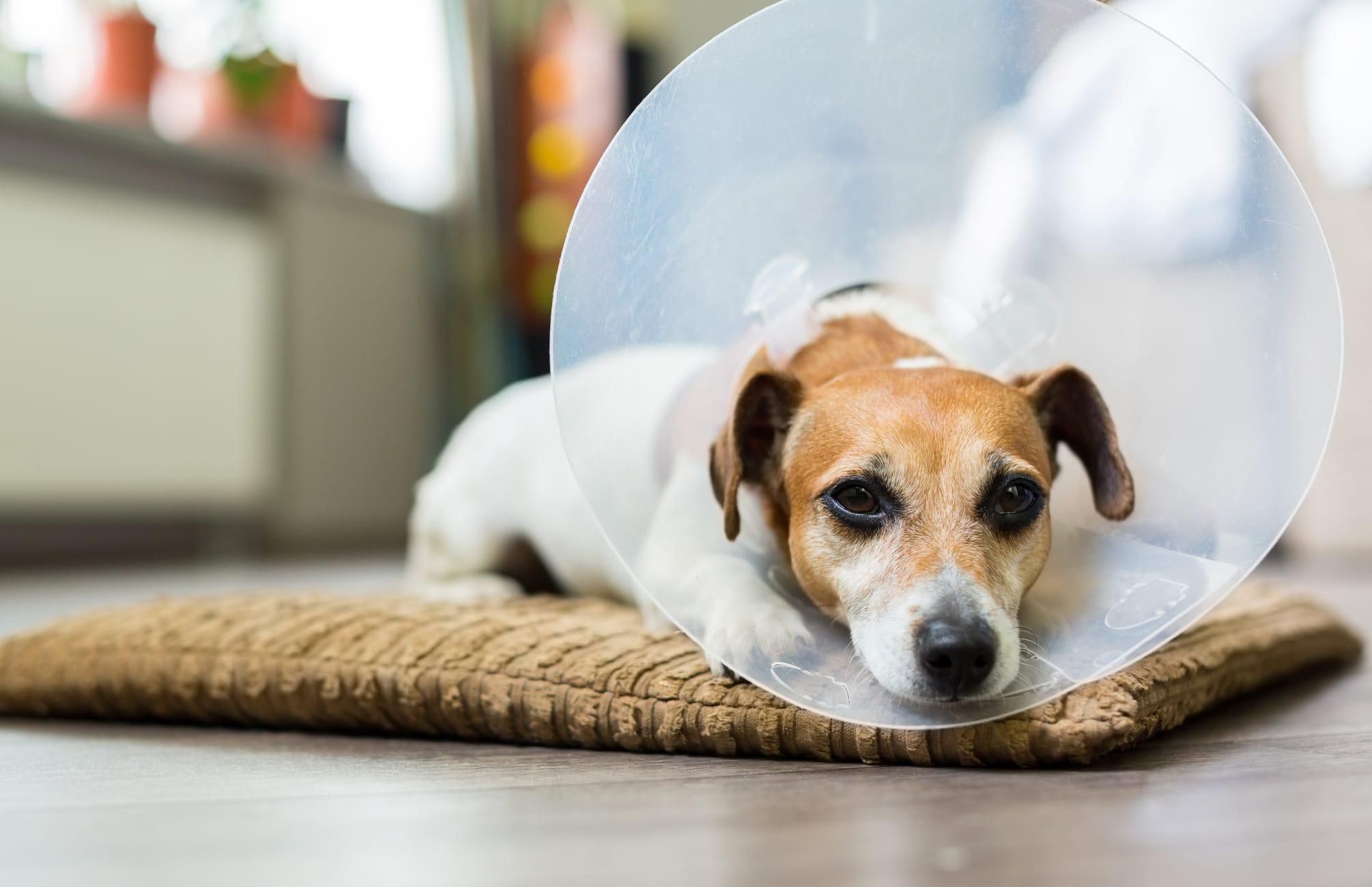 Injured Dog in Cone