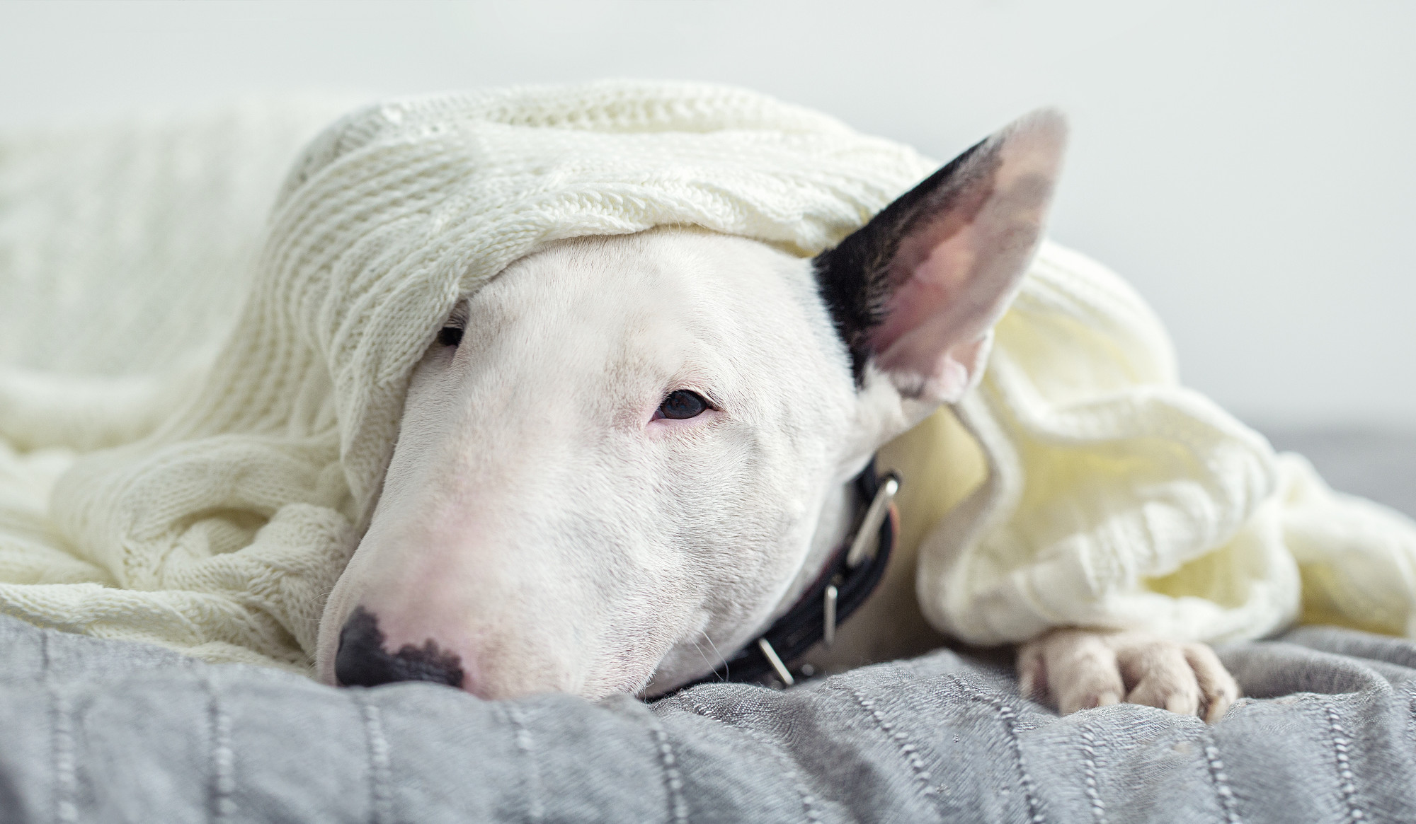 English bull terrier in blankets