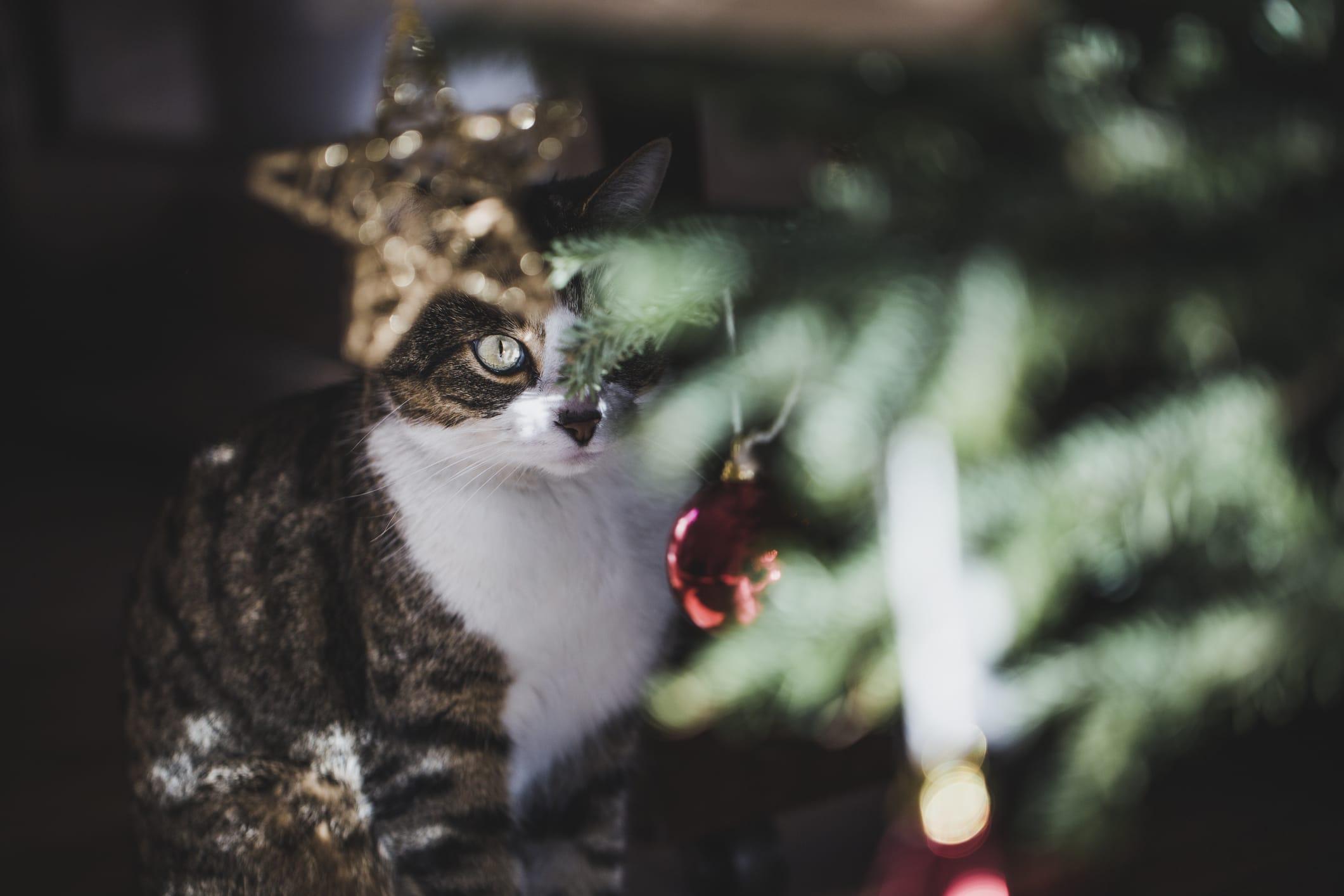 Tabby Cat Peaking Behind Christmas Tree