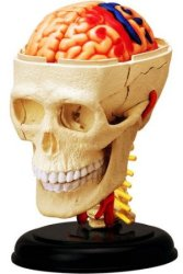 4D Vision Cranial Nerve Skull Anatomy Model $10
