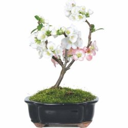 Japanese Flowering Quince Bonsai Tree for $37