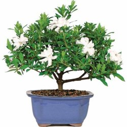 Gardenia Bonsai Tree for $24