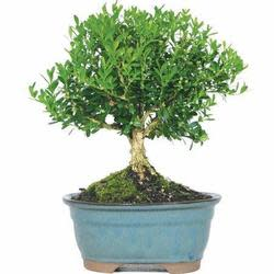 Harland Boxwood Bonsai Tree for $24